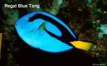 regal-blue-tang