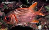 soldierfish2