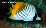 4-eye_butterfly_lg