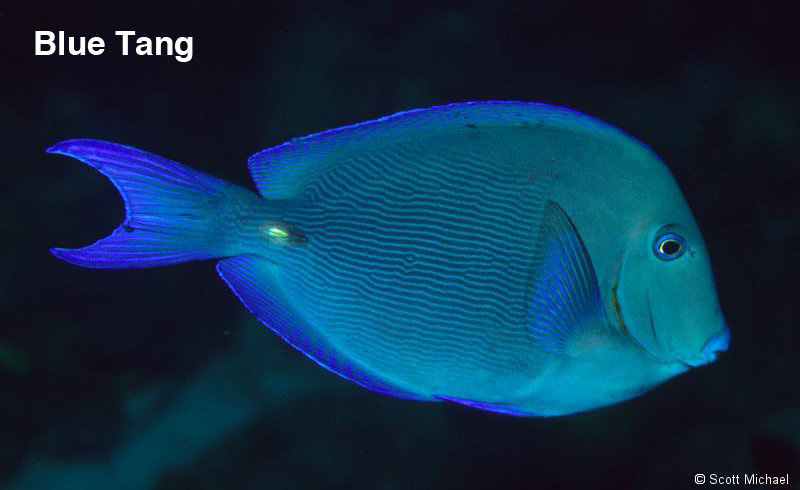 Featured fish buy the right fish my right fish for Blue tang fish facts