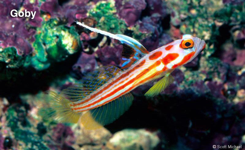 Featured fish buy the right fish my right fish for Saltwater fish names
