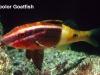 bicolor-goatfish