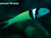 bluehead-wrasse