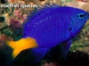 damselfish-species
