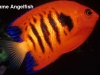 flame-angelfish