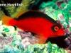 flame-hawkfish