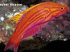 flasher-wrasse