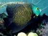 french-angelfish-adult