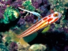 goby2
