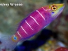 mystery_wrasse