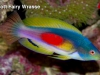 scott-fairy-wrasse