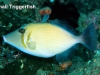small-triggerfish