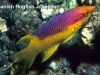 spanish-hogfish-juvenile_0