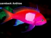 squareback-anthias