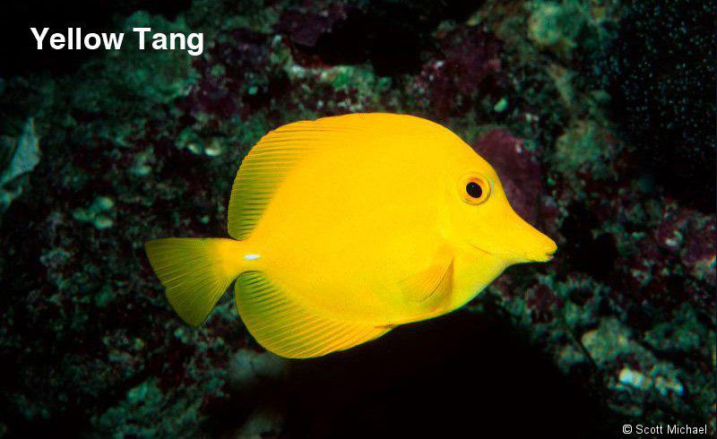 Yellow fish name for Yellow saltwater fish