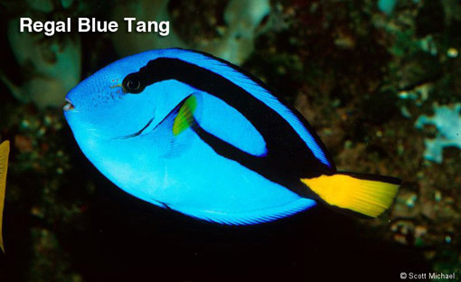 Royal blue tang 100 gallon tank my right fish for Blue tang fish facts