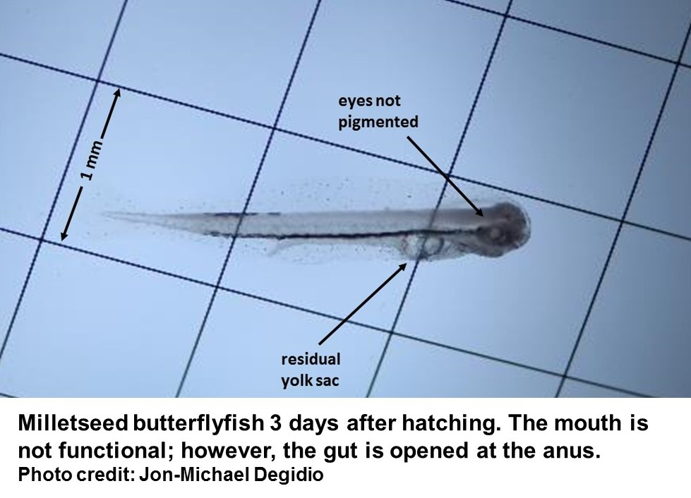 Milletseed larva