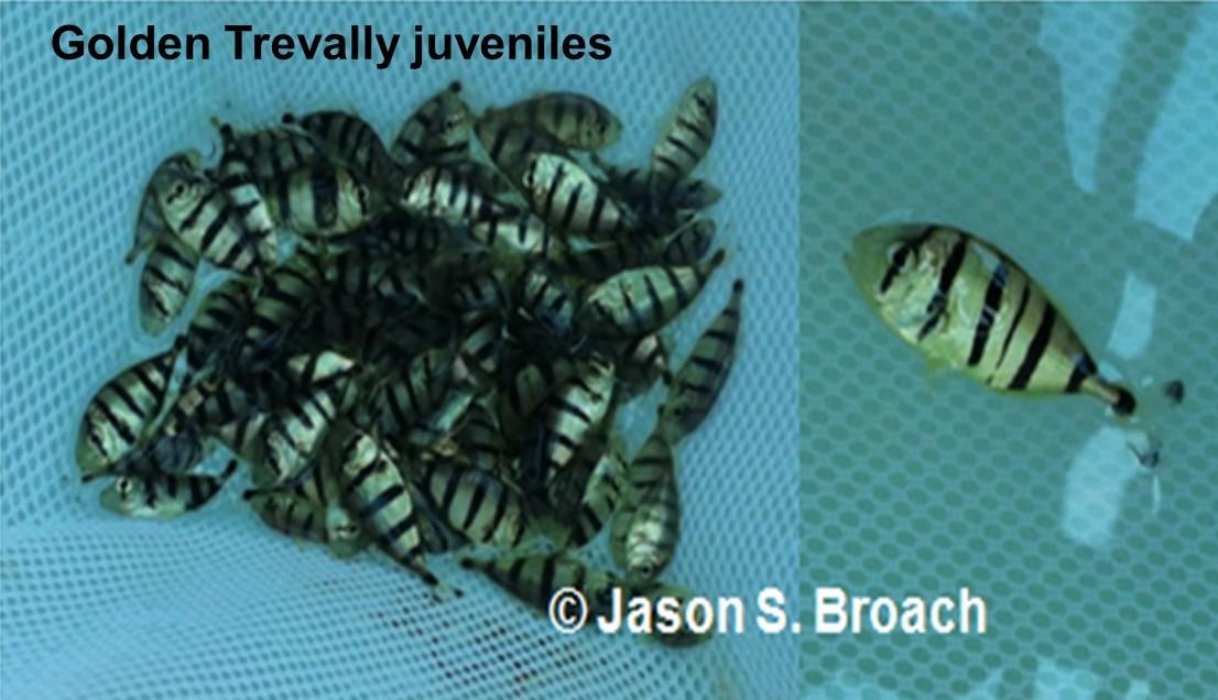 Trevally juveniles